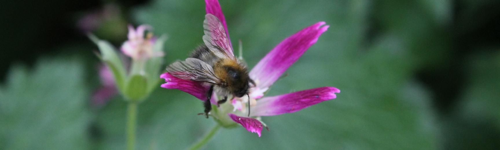 Bee on pink flower - photograph by Vikki Rose,Global Environmental Advisor (C Env MIEMA)