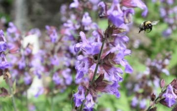 Bee flying away from purple flower
